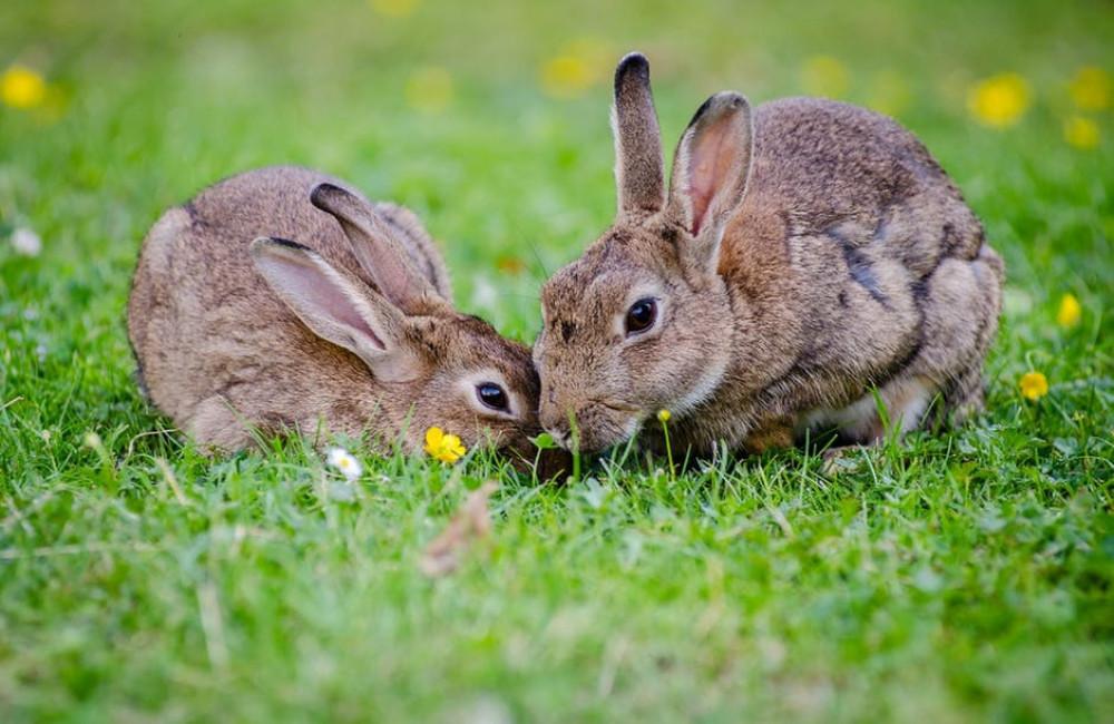 Het eten van een konijn